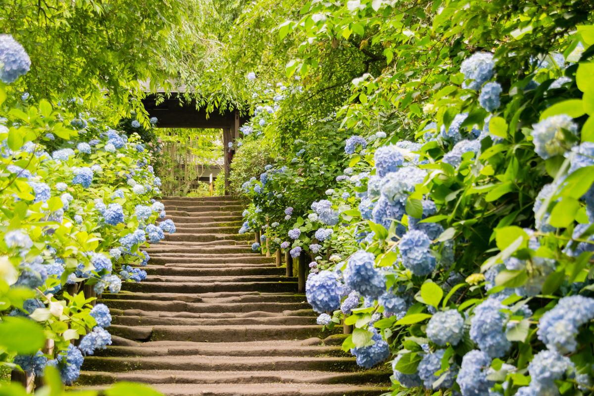 北鎌倉の名所 あじさい寺とも呼ばれる明月院