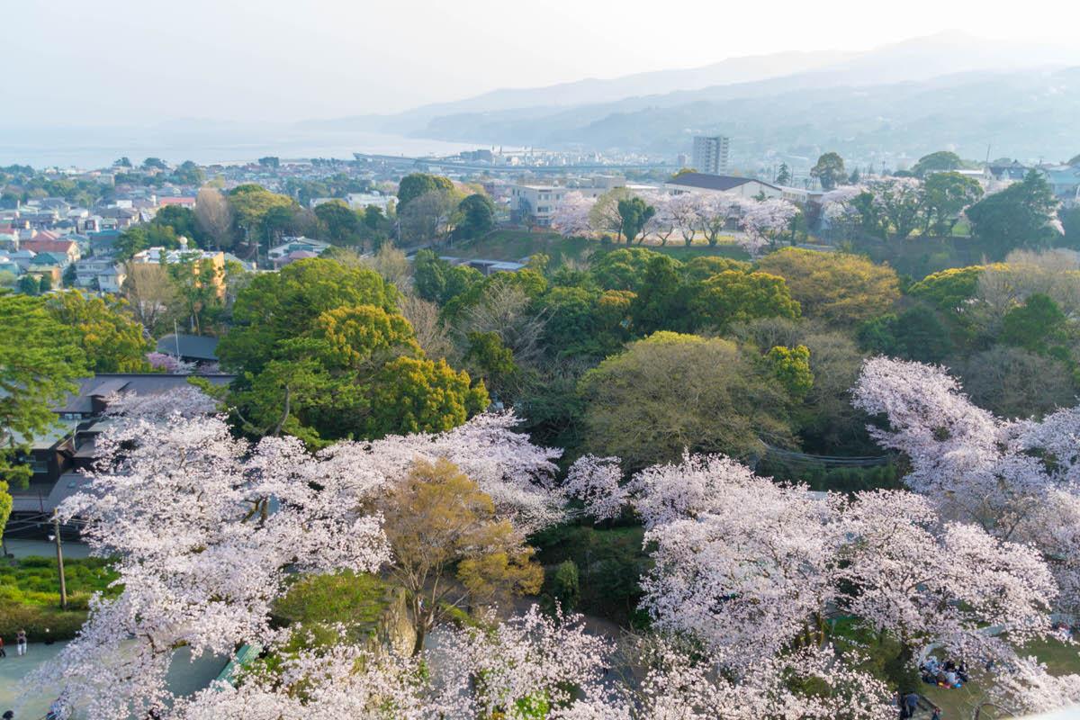 小田原城 桜 満開