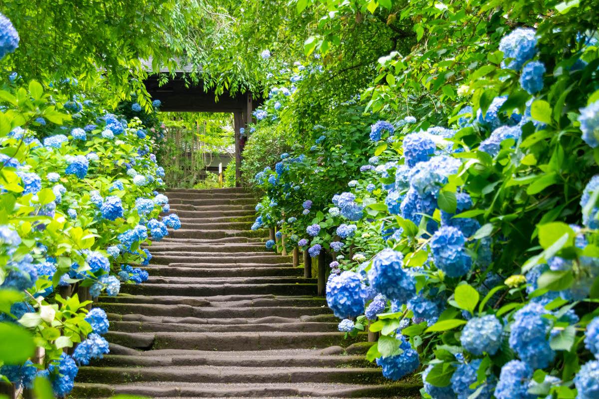 明月院 山門前 参道 紫陽花