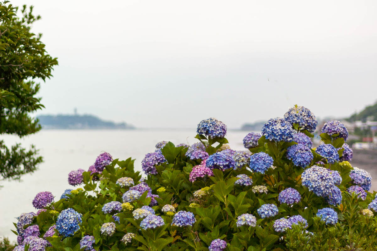 稲村ヶ崎 紫陽花